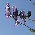 Aconitum sp.-IMG 5591.jpg
