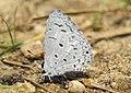 Acytolepis puspa felderi Toxopeus, 1927 – Malabar Common Hedge Blue at Periya (2).jpg