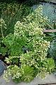 Aeonium canariense - Longwood Gardens - DSC01212.JPG
