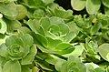 Aeonium canariense Plant.JPG