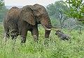 African Elephant (Loxodonta africana) bull .... (46469223435).jpg