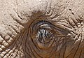 African Elephant (Loxodonta africana) eyelashes ... (47238890021).jpg