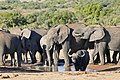 African Elephants(Loxodonta africana) surrounding an African Buffalo (Syncerus caffer) old bull at waterhole ... (46331732465).jpg
