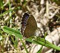 African Grass Blue, Zizeeria knysna. male - Flickr - gailhampshire (1).jpg