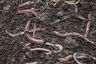 Vermicompost - African Night Crawler (a type of earthworm) as decomposer