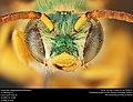 Agapostemon splendens (36690560363).jpg