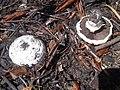 Agaricales - Agaricus arvensis - 3.jpg