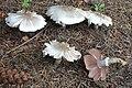 Agaricus xanthodermus 170723wa.JPG