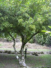 Aglaiaodorata1web.jpg