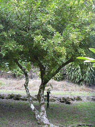 Meliaceae - Chinese Rice Flower (Aglaia odorata)