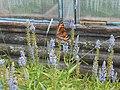 Aglais urticae on a Verónica incána flower. Бабочка крапивница на цветке вероники седой.jpg