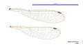Agriocnemis femina male wings (33984551884).jpg