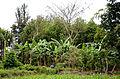 Agroforestry in Masaka. VI Agroforestry.jpg