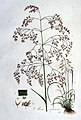 Aira cespitosa — Flora Batava — Volume v1.jpg