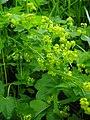 Alchemilla acutiloba inflorescence (08).jpg