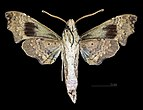 Aleuron neglectum MHNT CUT 2010 0 144 French Guiana male ventral.jpg