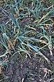 Allium ampeloprasum var. porrum with Erwinia carotovora subsp. carotovora (01).jpg