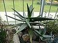 Aloe ferox (8).jpg