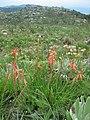 Aloe rhodesiana 2 (4331500339).jpg