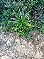 Aloe vera in Baringo).jpg