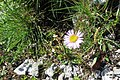Alpine flora (Gru) (37512396900).jpg