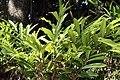 Alpinia purpurata 24zz.jpg