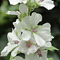 Althaea officinalis-IMG 4541.jpg