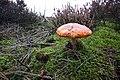 Amanita muscaria (19) (30477337110).jpg
