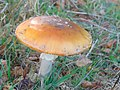Amanita muscaria 77.jpg