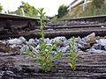 Amaranthus albus sl15.jpg
