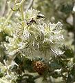 Ambrosia eriocentra 7.jpg