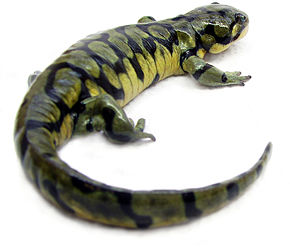 Description de l'image Ambystoma mavortium1.jpg.