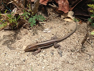 Saint Croix ground lizard - on Protestant Island