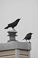 American Crow (Corvus brachyrhynchos) - Kitchener, Ontario 02.jpg