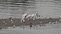 American White Pelicans (Pelecanus erythrorhynchos) - Saskatoon, Saskatchewan 02.jpg