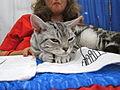 American Wirehair cat tired.jpg