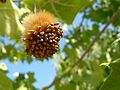 American sycamore (Platanus occidentalis).jpg