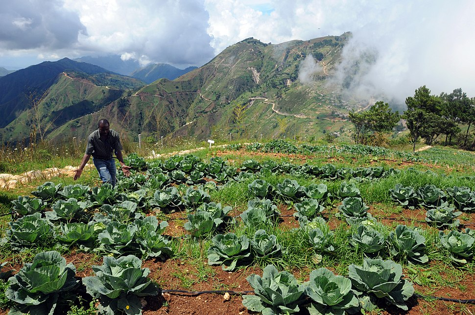 Amid rows of cabbage, Haiti