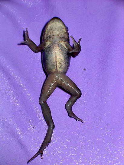 Amphibian hemimelia.jpg