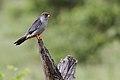 Amur falcon, Falco amurensis, male at Kruger Park (43918209010).jpg