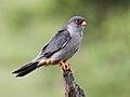 Amur falcon, Falco amurensis, male at Kruger Park (43918209100).jpg