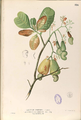 Anacardium occidentalis Blanco1.116-original.png