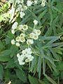 Anaphalis margaritacea 2-eheep (5097812952).jpg