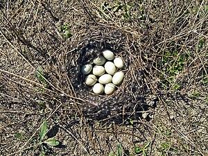 Clutch (eggs) - Image: Anas platyrhynchos (nest)