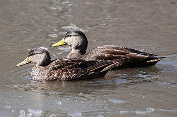 American Black Ducks (Anas rubripes) in Yonker...
