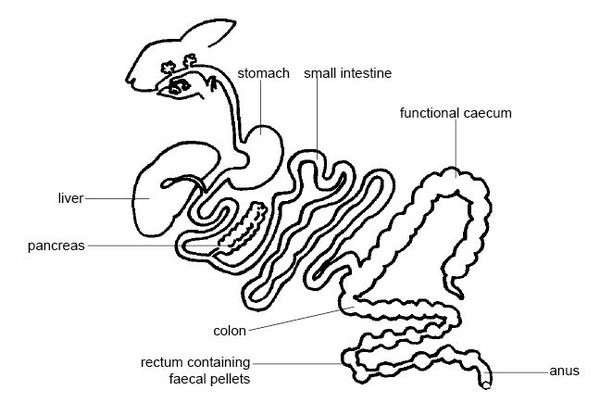 Digestive system of the rabbit, by Ruth Lawson, Otago Polytechnic 26 November 2007 Anatomy and physiology of animals Gut of a rabbit.jpg
