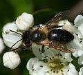 Andrena (Hoplandrena) scotica - Flickr - S. Rae.jpg