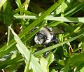 Andrena cineraria female - Flickr - gailhampshire (1).jpg