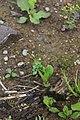Androsace filiformis 44512918.jpg