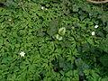 Anemone nemorosa (13818940343).jpg